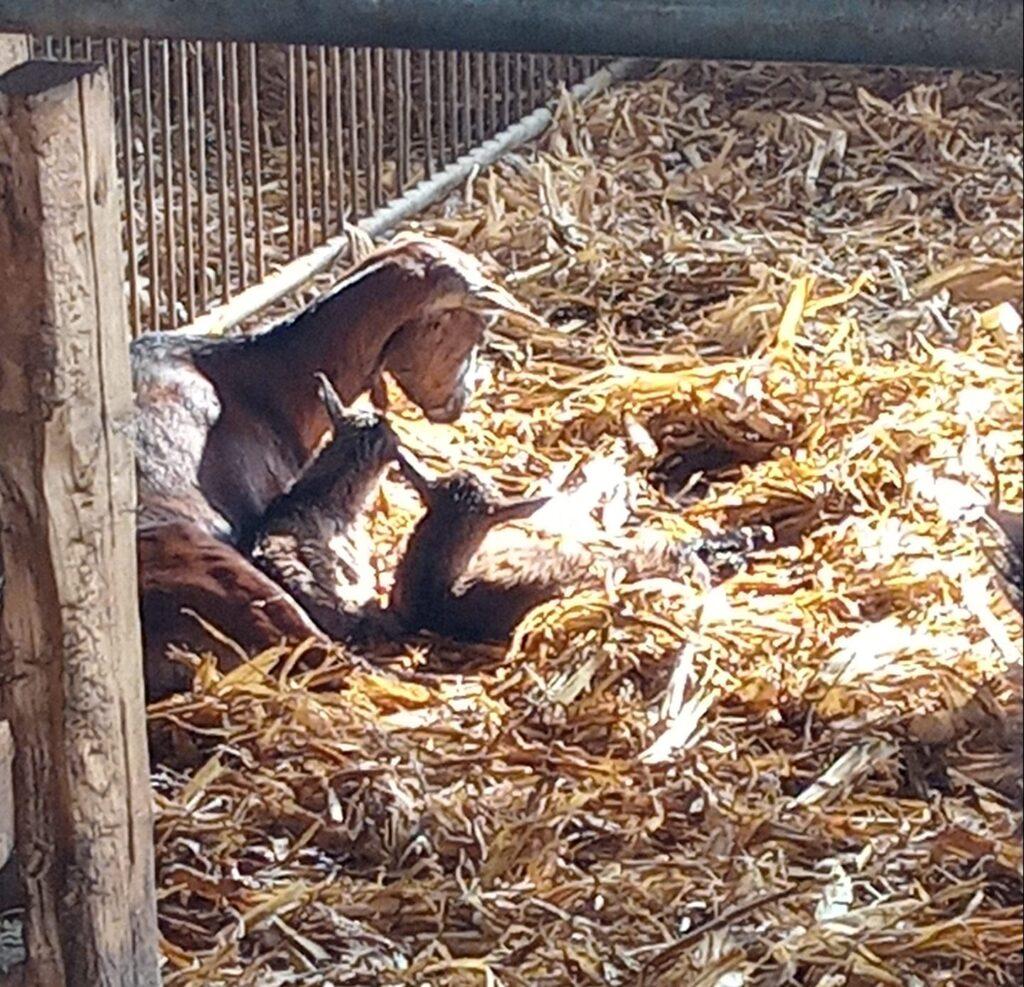 Sono nati i primi capretti!