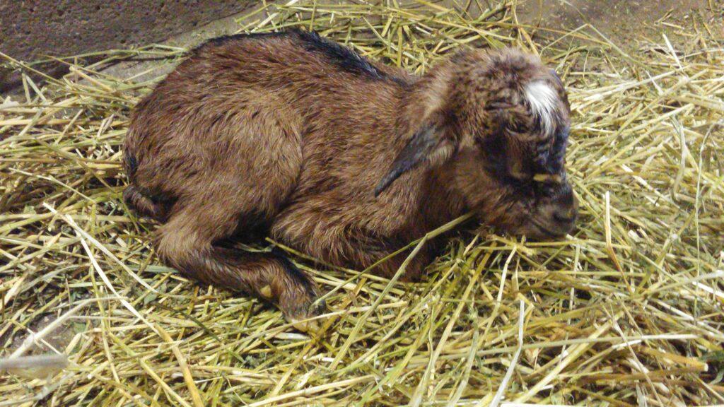Sono nati i capretti!
